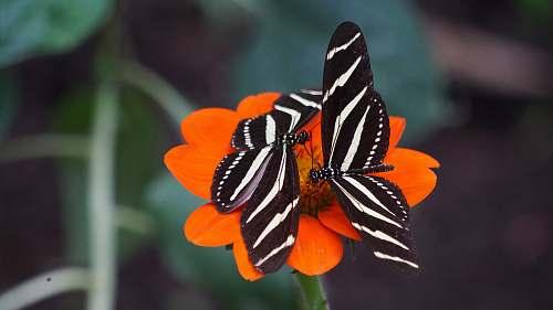 butterfly two white-and-black zebra longwing butterflies on orange petal flowers invertebrate