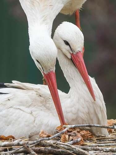 bird two white birds stork