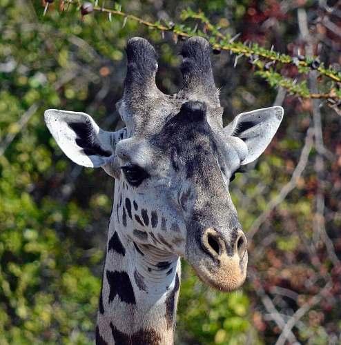 giraffe white and black giraffe wildlife