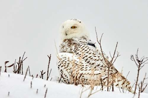 bird white and brown owl standing on snow owl