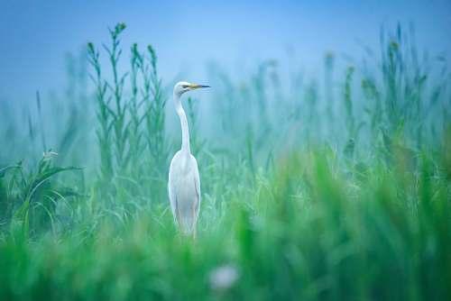 bird white bird at a green grassy field waterfowl