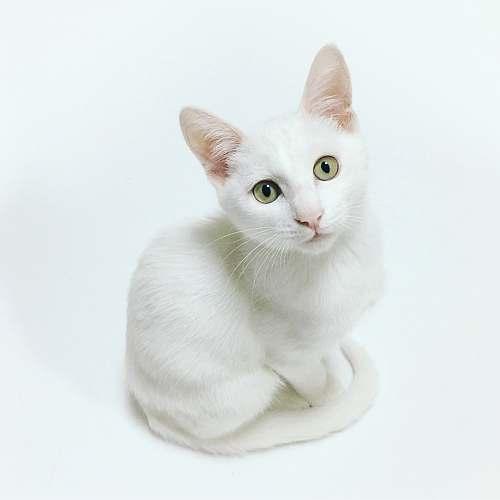 cat white cat pet