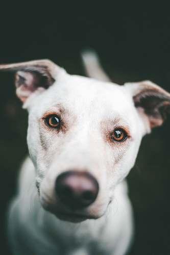 canine white dog face dog