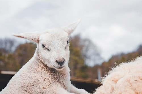sheep white goat mammal