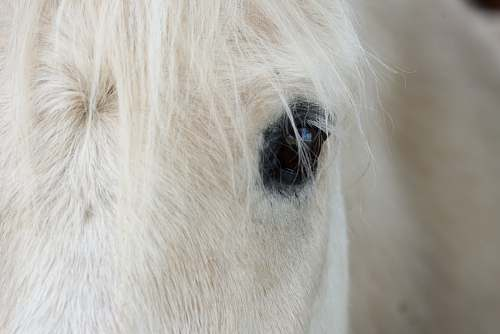 photo white white horse's right eye horse free for commercial use images