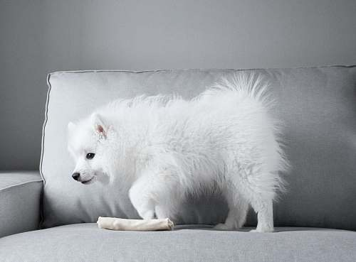 canine white Pomeranian dog on gray couch mammal