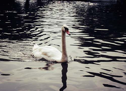 bird white swan on body of water close-up photography water