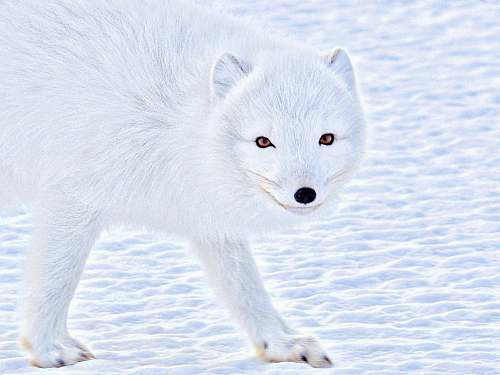 mammal wildlife photography of a white wolf arctic fox
