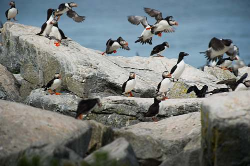 animal black-and-white birds on grey rocks puffin