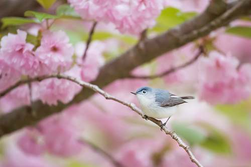 photo animal gray and white bird perching on branch bluebird free for commercial use images