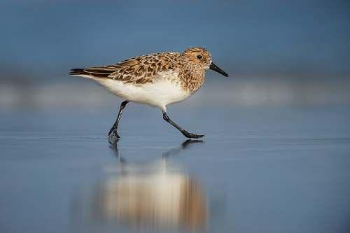 reflection selective focus photography of brown bird walking on shore animal