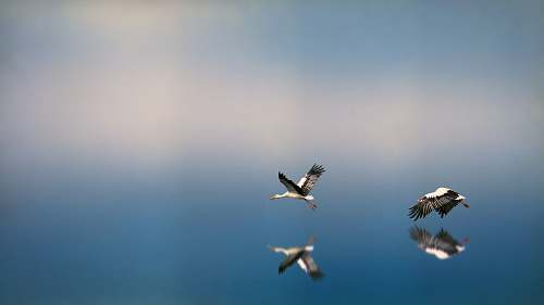 stork two white-and-black birds flying on to of water reflecting selves transportation