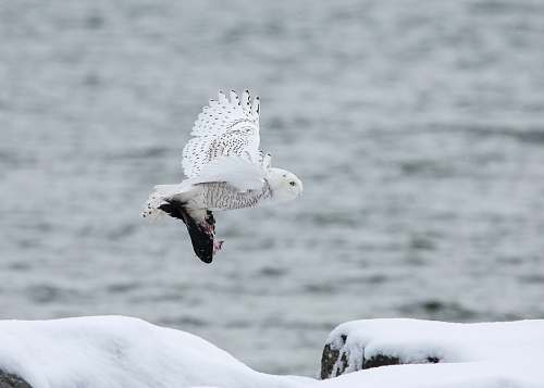 photo animal white owl flying through the sky seagull free for commercial use images