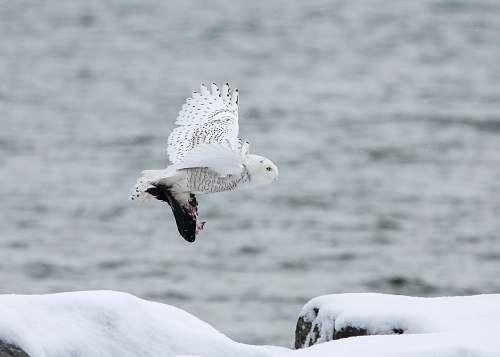 animal white owl flying through the sky seagull