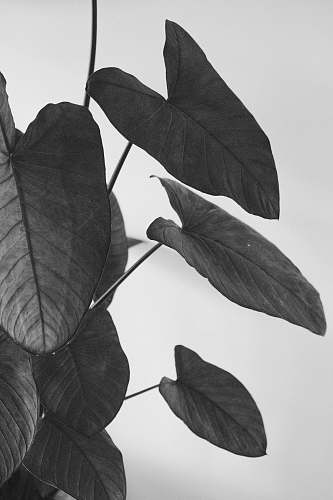 veins  leaf