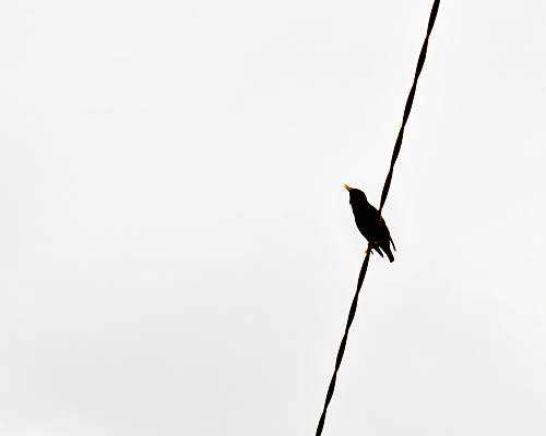 animal black bird on black wire bird