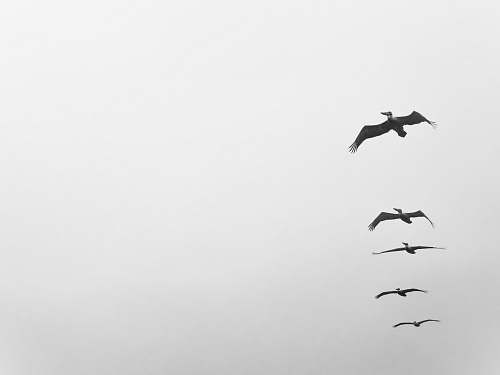 nature five birds flying on grayscale photo bird