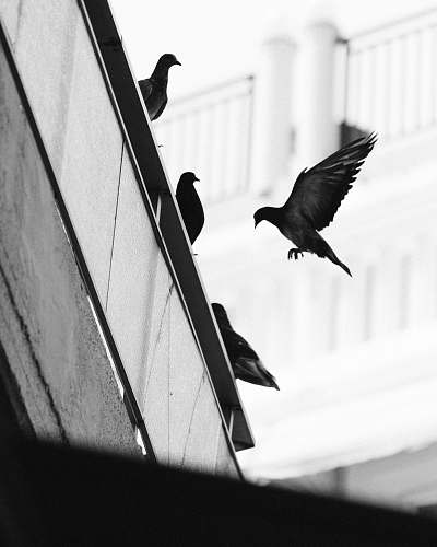 animal flock of pigeons at the edge of the roof bird