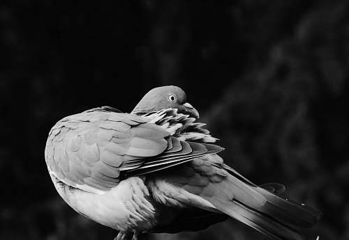 bird gray and white pigeon close-up photography pigeon