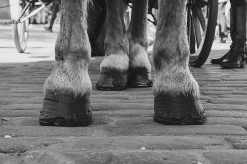 apparel grayscale photo of a horse's feet clothing