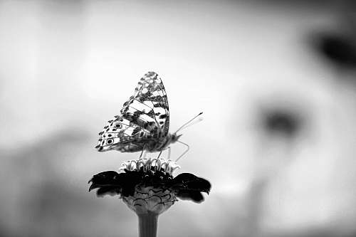 animal grayscale photo of butterfly invertebrate