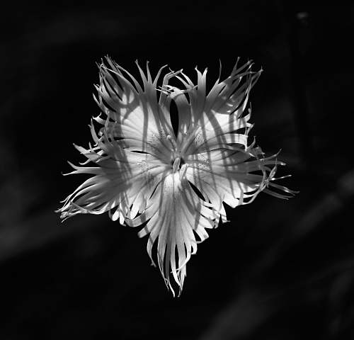 plant grayscale photo of flower bloom top-view photography blossom
