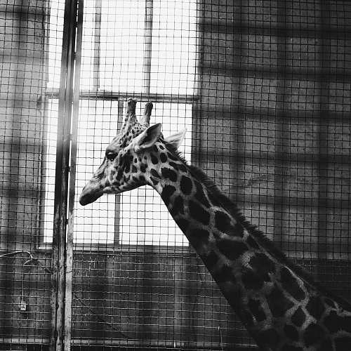 animal grayscale photo of giraffe zoo