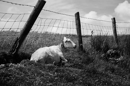 animal grayscale photo of goat beside fence slieve croob