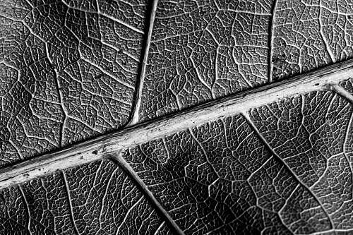 grey grayscale photo of leaf in closeup photo veins