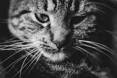 grey grayscale photo of tabby cat cat