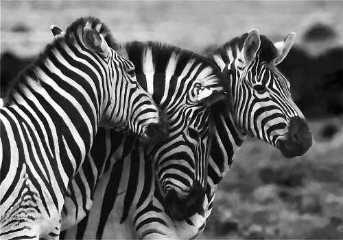 zebra grayscale photo of three zebra wildlife