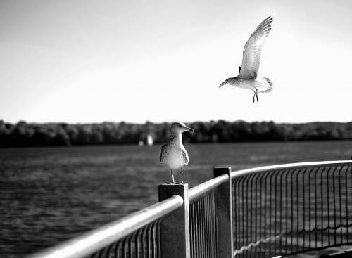 seagull grayscale photo of two birds bird