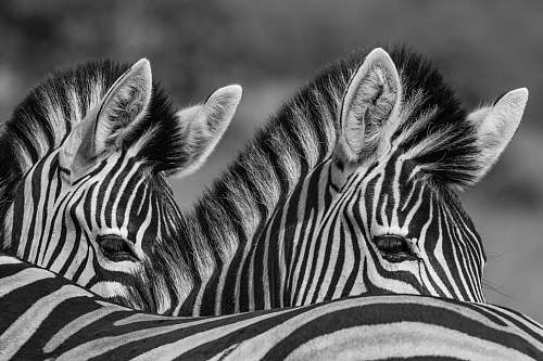 animal grayscale photo of two zebras mammal