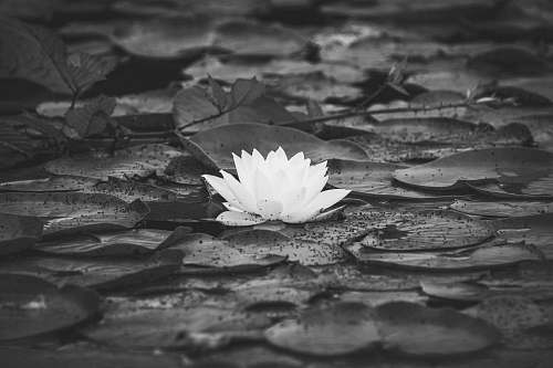 plant grayscale photo of water lily flower