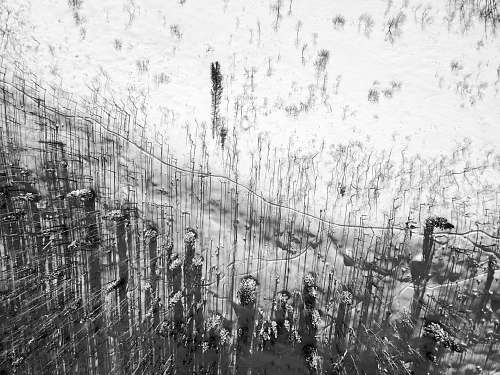 flora grayscale photo of waterdrop grass