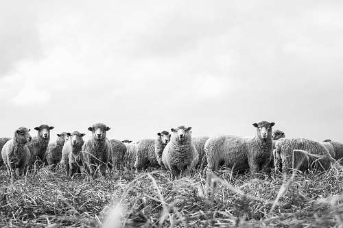 new zealand grayscale photography lamb sheep