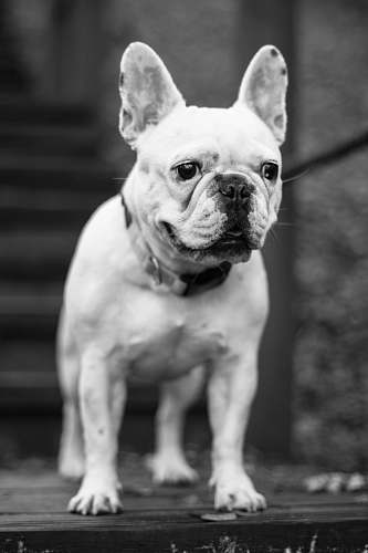 dog grayscale photography of adult French bulldog looking at direction animal