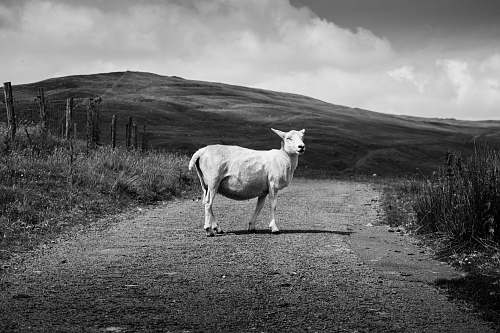 grey grayscale photography of goat nature