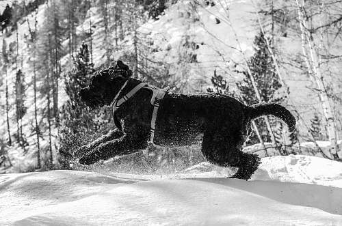 animal grayscale photography of short-coated dog running on snowy field dog