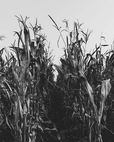 grey greyscale photography of corn field flora