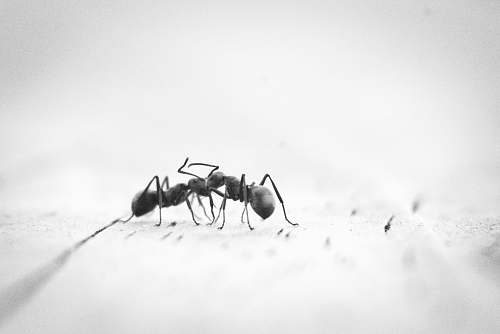 ant micro photography of two black ants on white panel insect