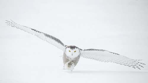 animal photo of flying owl owl