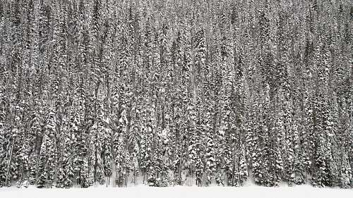 grey pine trees covered in snow tree
