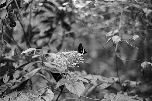 grey selective color photography of black and white butterfly perching on petaled flowers plant