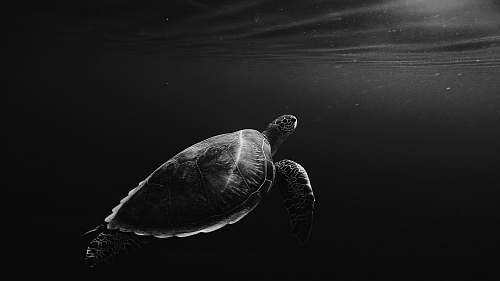 animal silhouette of sea turtle underwater turtle