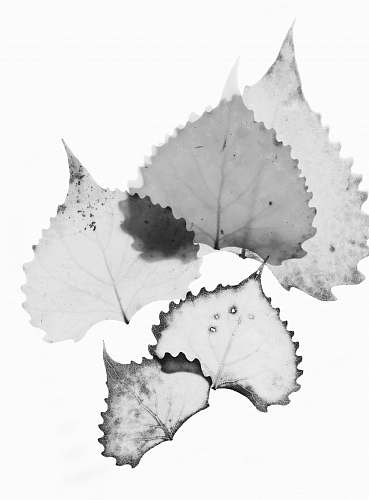 grey white leaves art with white background leaf