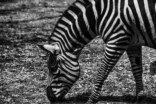 zebra zebra eating grasses animal