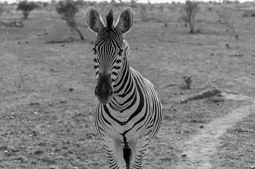 zebra zebra standing near tree animal