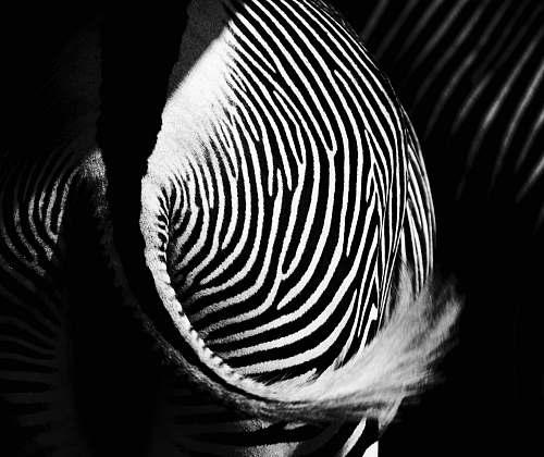 zebra zebra tail zoo salzburg