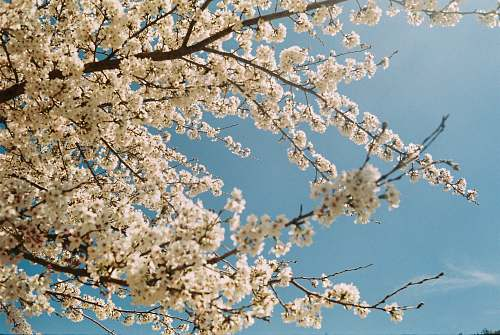 spring cherry blossom under blue sky flora